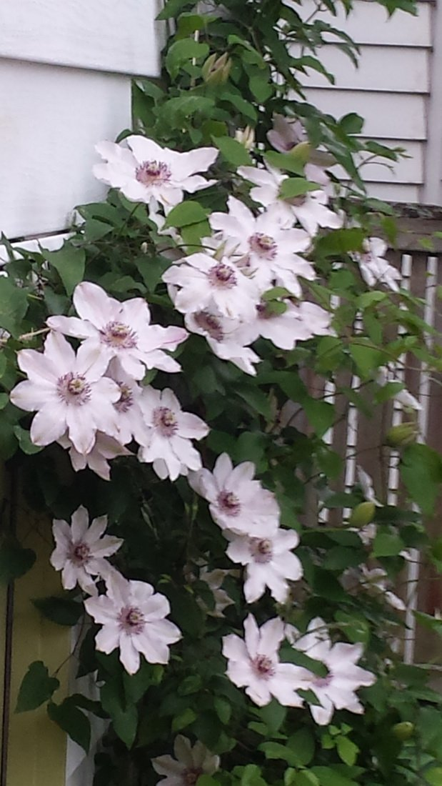 Clematis-Fair-Rosamond-2