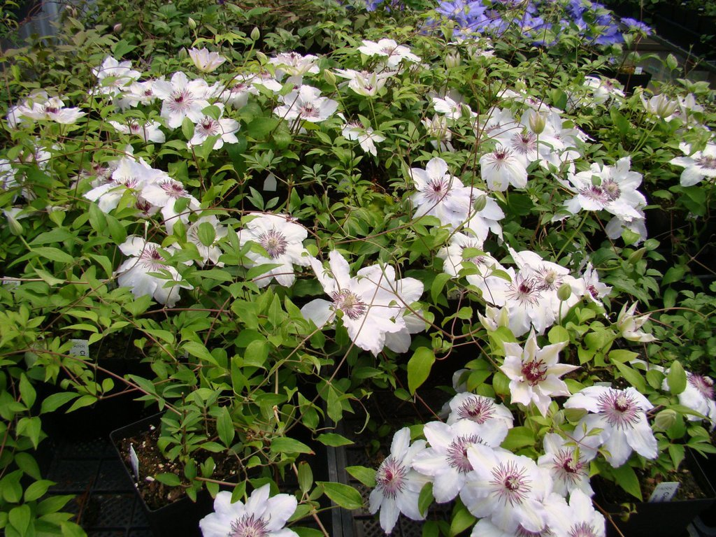 Clematis-Fair-Rosamond-3