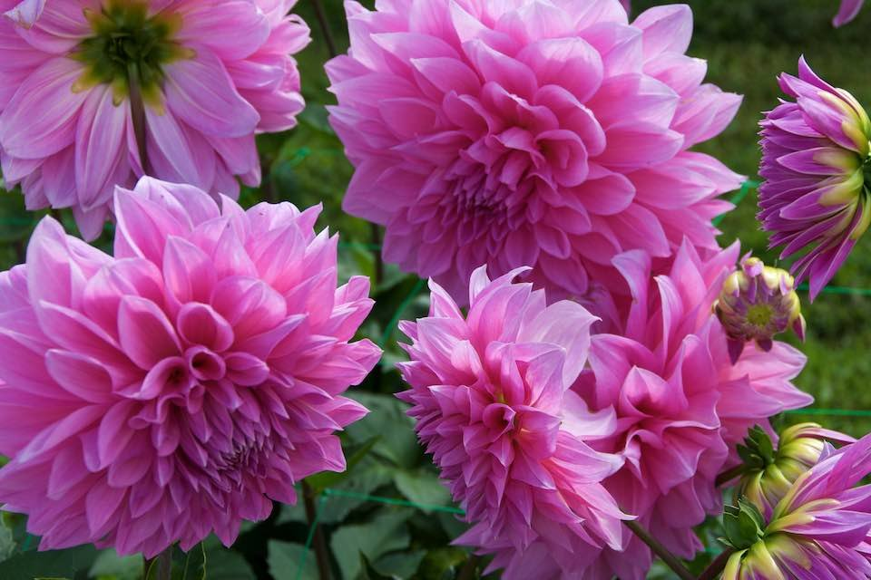 Dahlia-Lavender-Perfection-2