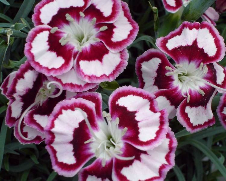Dianthus-Raspberry-Swirl-1
