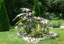 Клещевина в цветнике