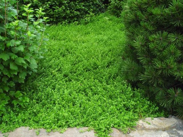 Грыжник гладкий, или Грыжник голый (Herniaria glabra)