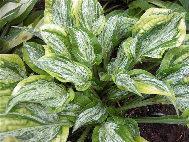 Hosta-Winter-Lightning-1