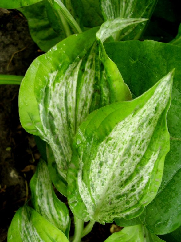 Hosta-Winter-Lightning-3