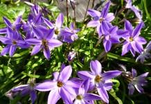 Ифейон одноцветковый (Ipheion uniflorum 'Froyle Mill')