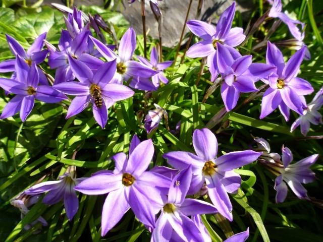 Ифейон одноцветковый 'Froyle Mill'