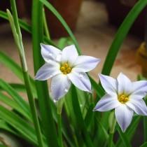 Ифейон одноцветковый (Ipheion uniflorum 'Wisley Blue')