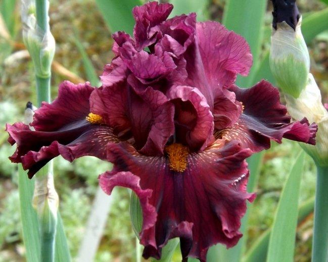 Iris-Obsessed-1
