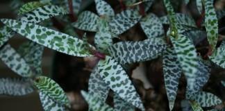 Ледебурия общественная (лат. Ledebouria socialis)