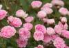 Миниатюрная роза 'Jean Mermoz'