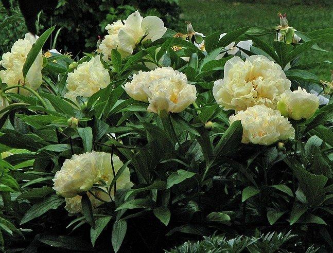 Paeonia-lactiflora-Sunny-Girl-3