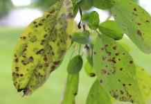 Парша на листьях яблони