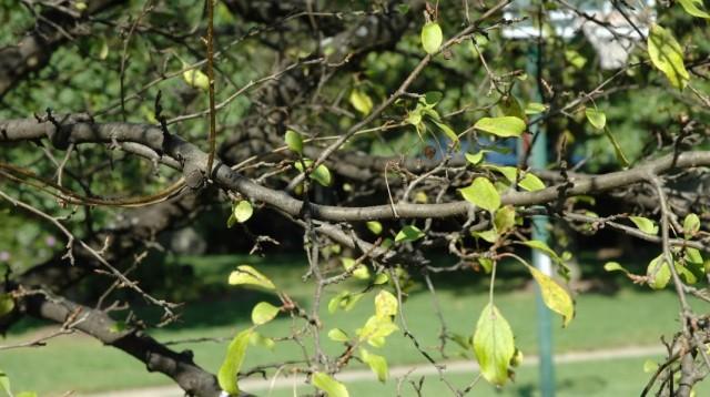 Яблоня, преждевременно скинувшая пожелтевшие и засохшие листья, после поражения паршой яблони