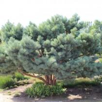 Сосна обыкновенная «Ватерери» (Pinus sylvestris 'Watereri')