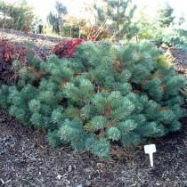 Сосна обыкновенная «Альбинc» (Pinus sylvestris 'Albyns')