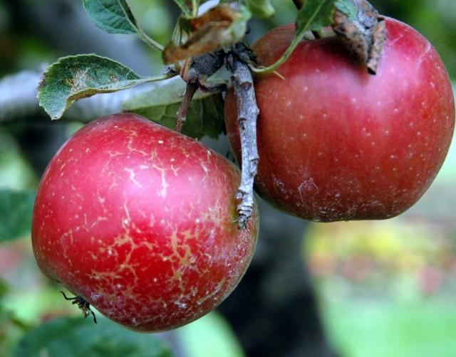 Мучнистая роса на плодах яблони