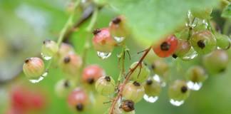 Куст смородины после дождя
