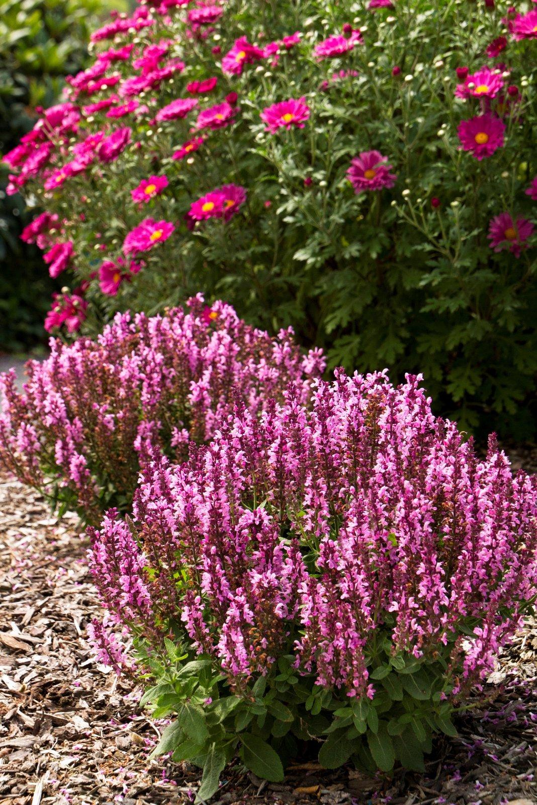Salvia-nemorosa-Sensation-Rose-3