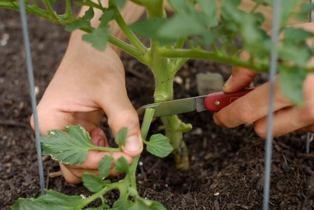 Обрезка нижних листьев томата