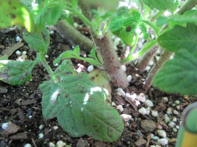 Необрезанные нижние листья томата, лежащие на грунте