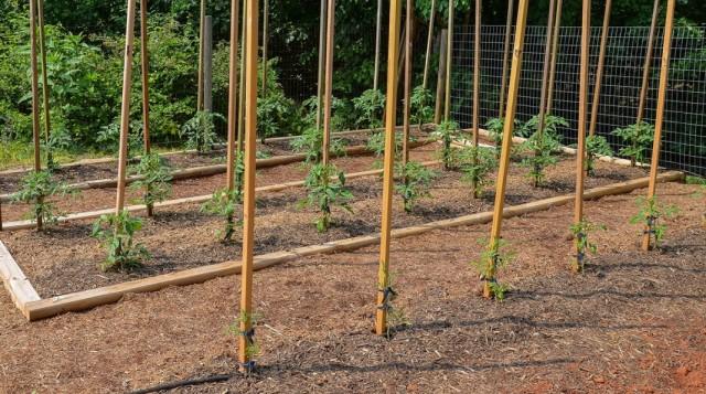 Посадки томатов в грядки