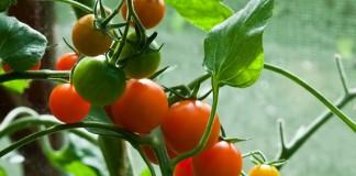 Плоды томата на ветке