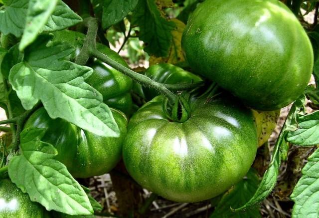 Незрелые плоды томата