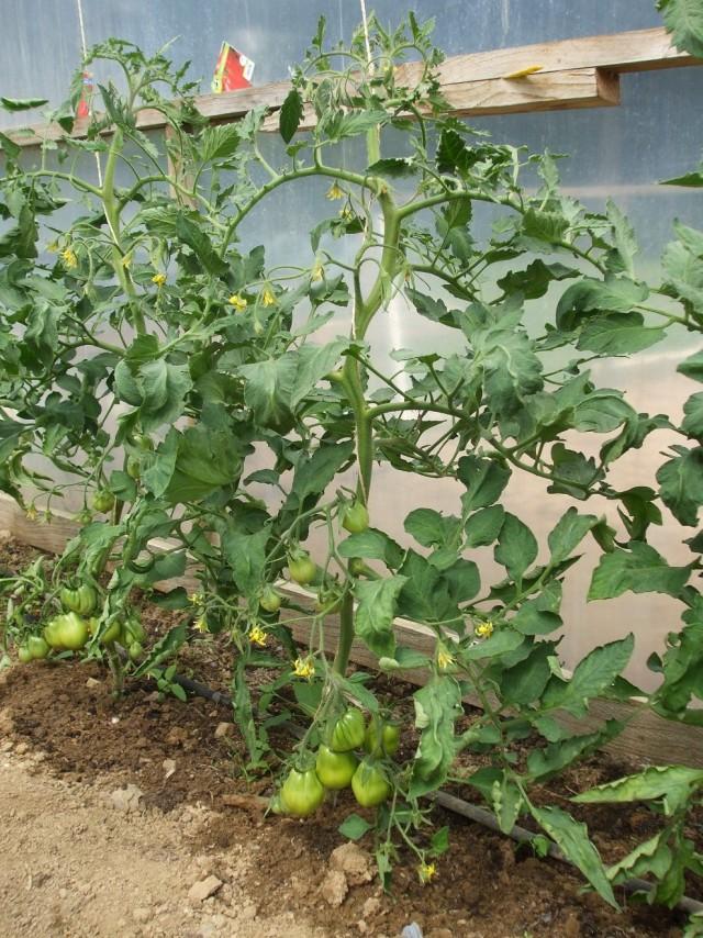 Томаты, выращиваемые в теплице