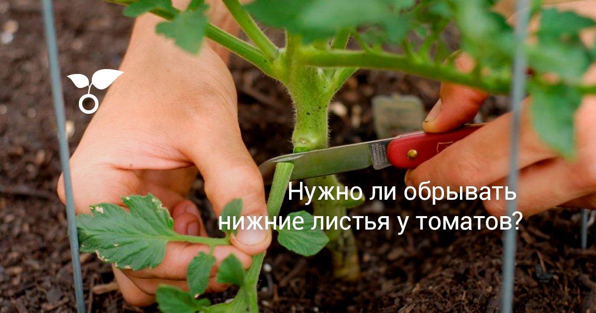 Что делать, если у помидоров скручиваются листья