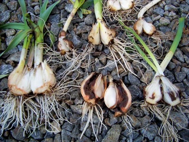Луковицы, пораженные личинками луковой мухи