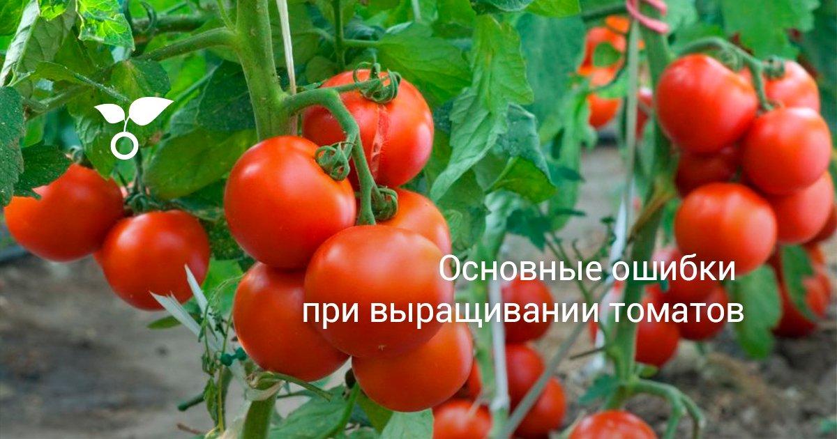 Помидоры недают урожай: 6основных причин