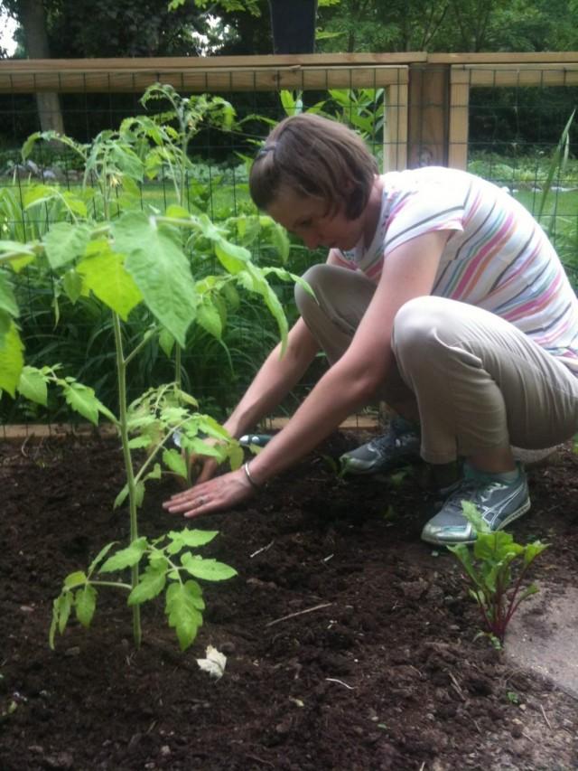 Высадка переросшей рассады томата в грунт