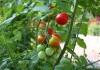 Созревающие томаты на ветке