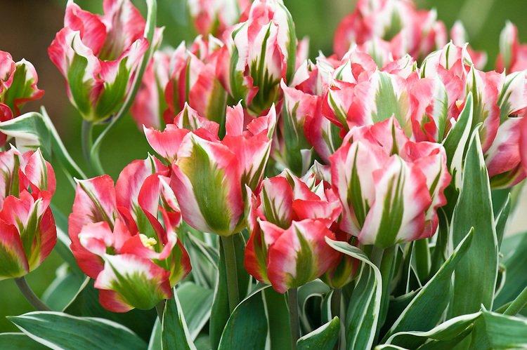 tulipa-esperanto-2
