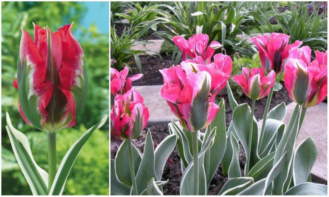 tulipa-esperanto-3