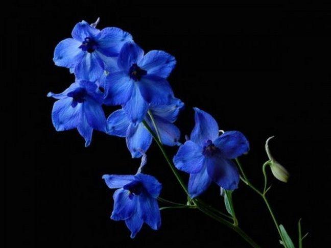 5a01eaff4d9d005de37f25374b23ffac-blue-flowers