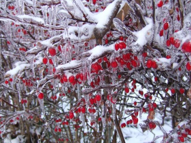 Барбарис зимой с ягодами на ветвях