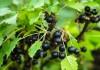 Размножение чёрной смородины зелеными черенками