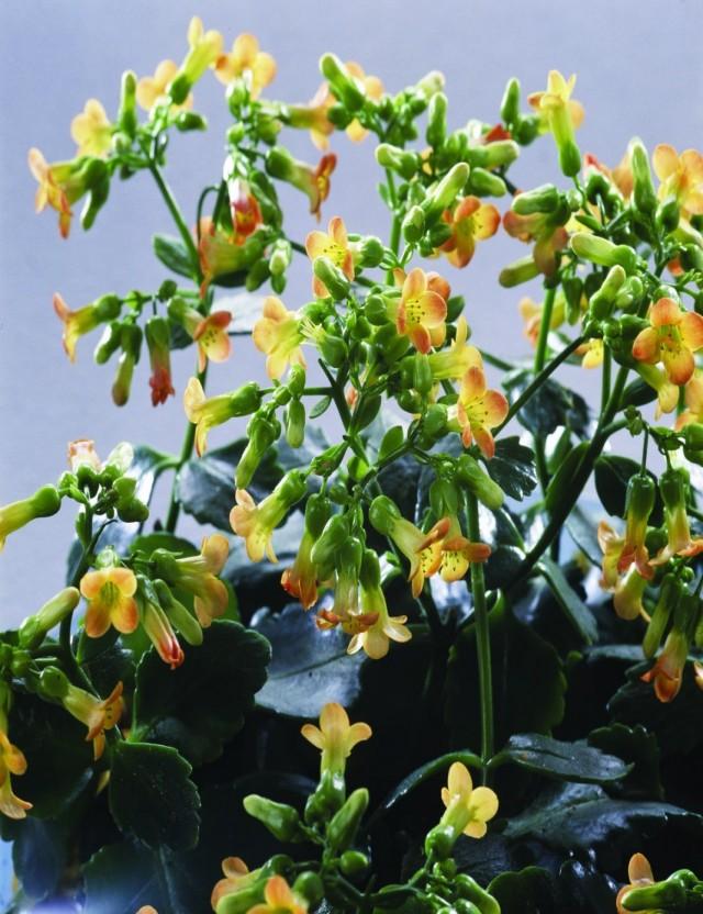 Бриофиллум Мангина, или Каланхоэ Мангина (Bryophyllum manginii)