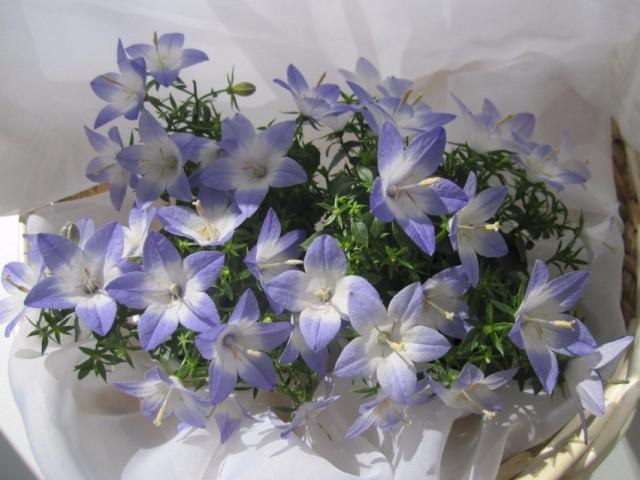 "Колокольчик равнолистный ""Берлин Биколор"" (Campanula isophylla 'Berlin Bicolor')"