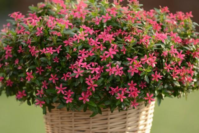 """Катарантус розовый, или барвинок розовый """"Соари Каваи Пинк"""" (Catharanthus roseus 'Soiree Ka-wa-i-i® Kawaii Pink')"""