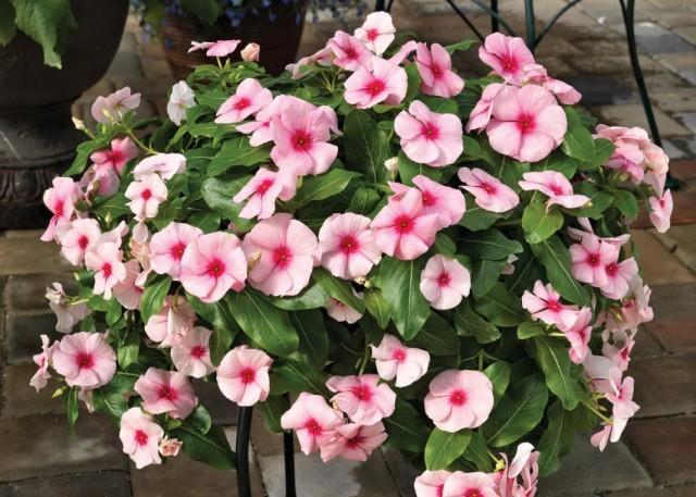 "Катарантус розовый, или барвинок розовый ""Кора Каскад Стравберри"" (Catharanthus roseus 'Cora® Cascade Strawberry')"