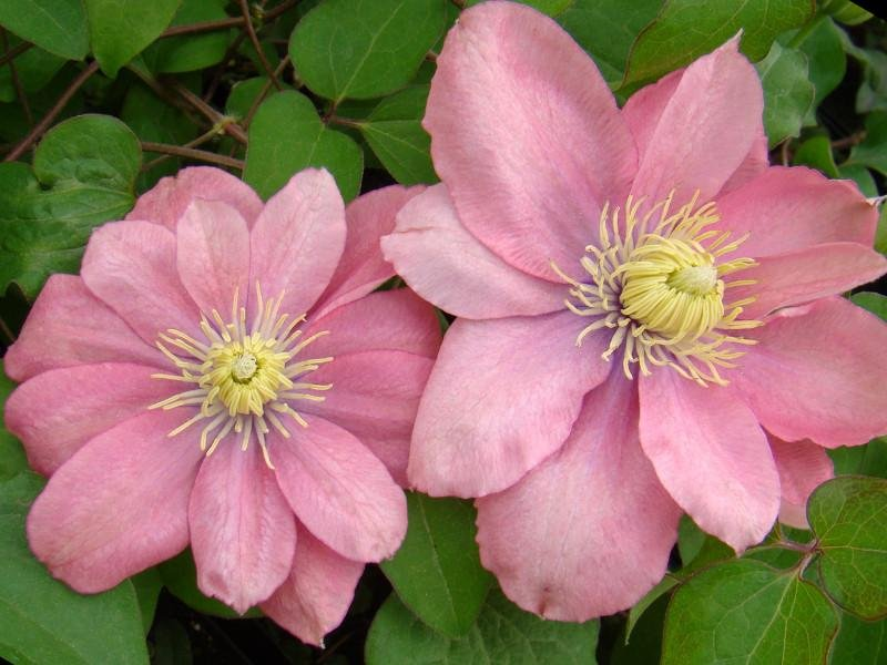 Clematis-Little-Mermaid-1