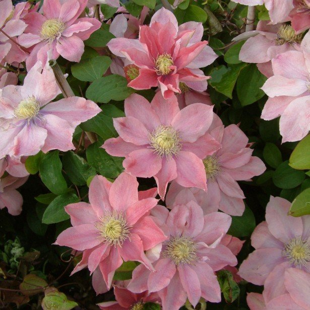 Clematis-Little-Mermaid-2
