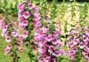 Цветение наперстянки пурпурной