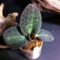 Драгоценная орхидея Доссиния (Dossinia)