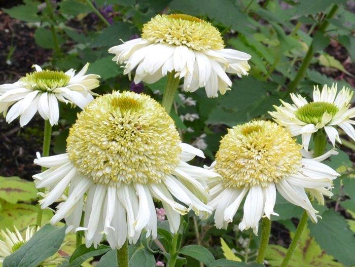 Echinacea-Vanilla-Cupcake-1