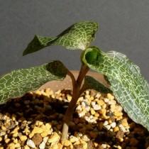 Драгоценная орхидея Гудайера (Goodyera)