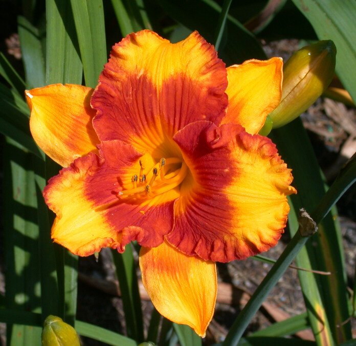 Hemerocallis-Adorable-Tiger-1