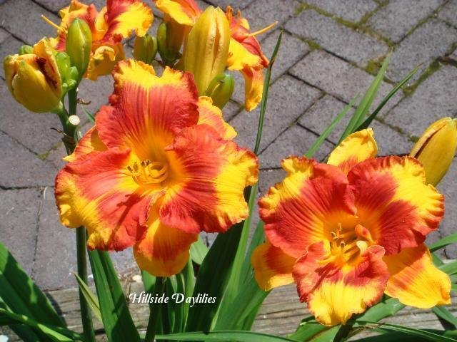 Hemerocallis-Adorable-Tiger-2
